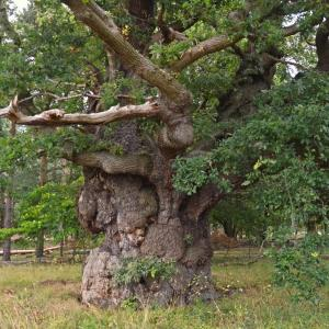 Repton Oak at Attingham Park